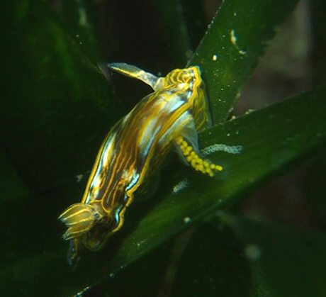 Nudibranch laying eggs on seagrass