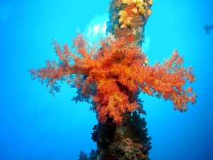 Soft coral on wreck