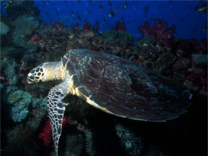 Turtle on Yongala, the best wreck dive in the world