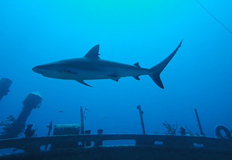 Caribbean Reef shark on wreck of the Austin Smith