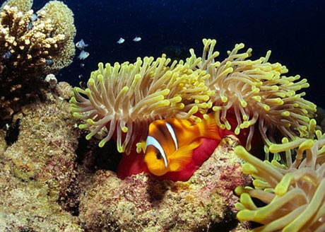 Red Sea Clownfish in Magnificent anemone by Tim Nicholson
