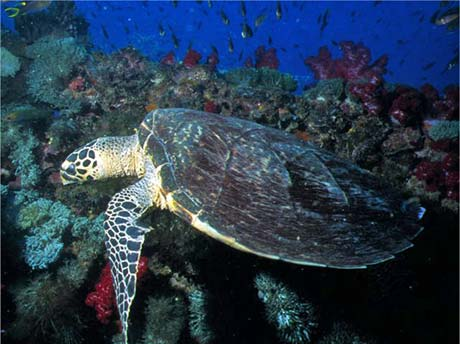 Turtle on the Yongala shipwreck