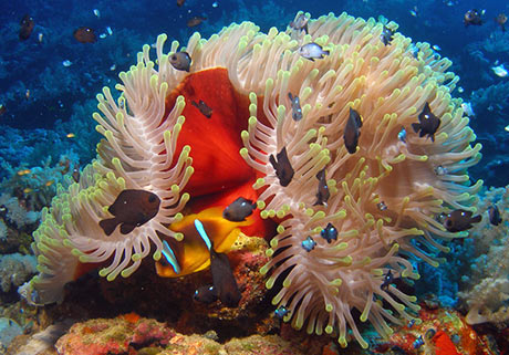 Clown fish on Daedelus reef, Red Sea