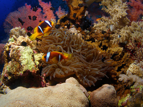 Red Sea Clownfish, Amphiprion bicinctus