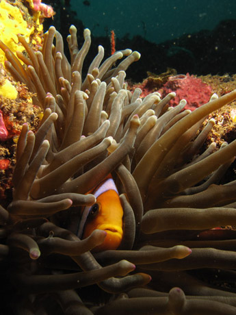 Red Sea Clownfish in Djibouti by Tim Nicholson