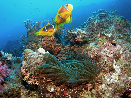 Clownfish in Egypt