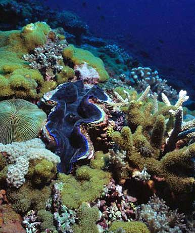 corals and clam in coral triangle