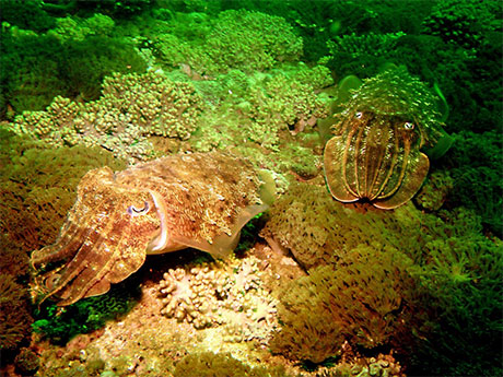 Hooded Cuttlefish, Sepia prashadi showing courtship colouration, taken in Oman