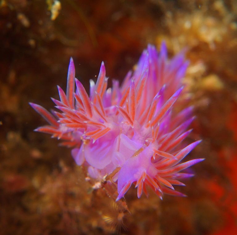 Flabellina affinis nudibranch by Tim Nicholson