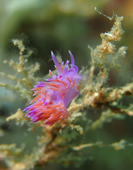 Flabellina affinis nudibranch feeding on Eudendrium hydroid by Tim Nicholson