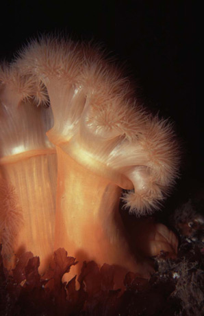 Plumose Anemone bending over