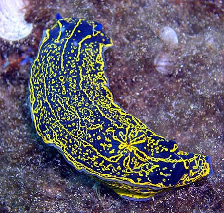 Hypselodoris nudibranch by Alfonso Gonzalez