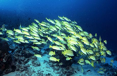 Snappers taken on the Kuredu Express (Lhaviyani Atoll) in the Maldives by Tim Nicholson