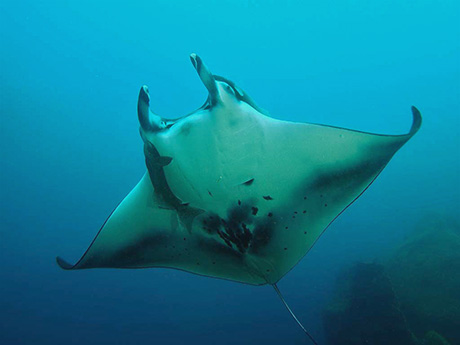 Manta Ray by Tim Nicholson