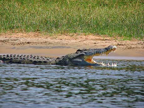 Diving with Nile Crocodiles