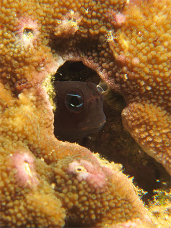 Blenny in coral