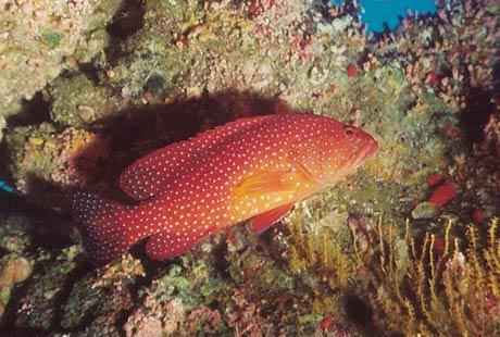 Coral Grouper, Cephalopholis miniata, by Tim Nicholson