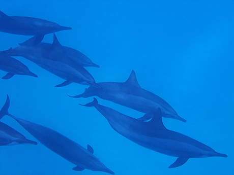Underwater pod of Dolphins