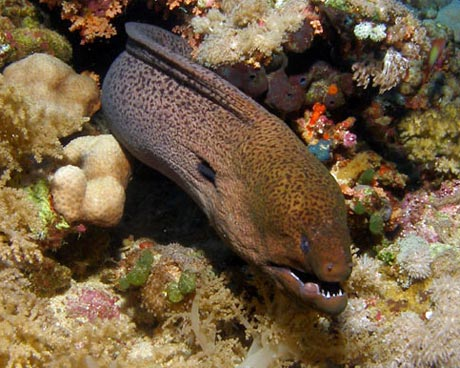 Giant Moray Eel in the Red Sea