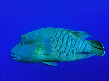 Humphead Wrasse, Cheilinus undulatus, in the Red Sea where it is normally known as the Napoleon Wrasse