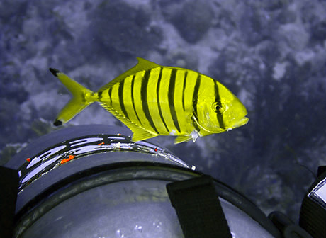 Juvenile Golden Trevally with diver