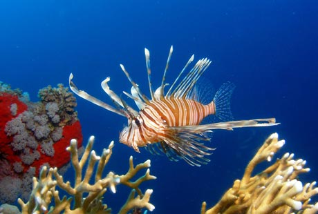 Red Sea Lion Fish