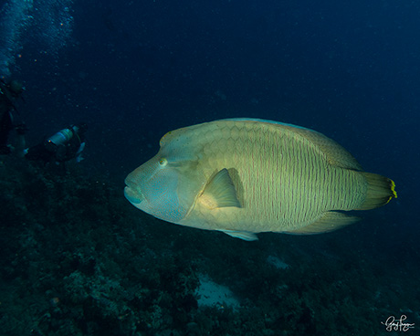 Napoleon Wrasse, Cheilinus undulatus, in the Red Sea