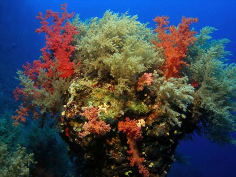 Red Sea Soft Corals by Tim Nicholson