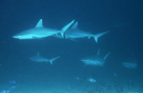 Diving Maldives Islands: sharks