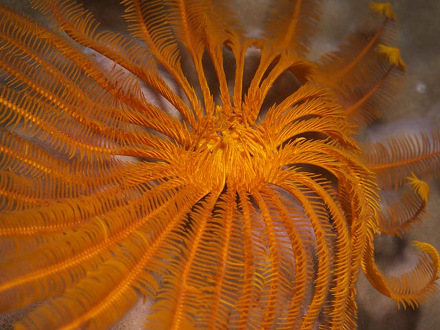 Feather star mouth