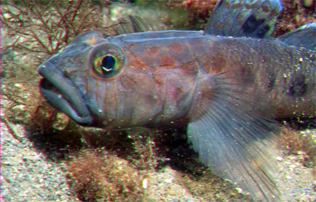 Leopard spotted goby