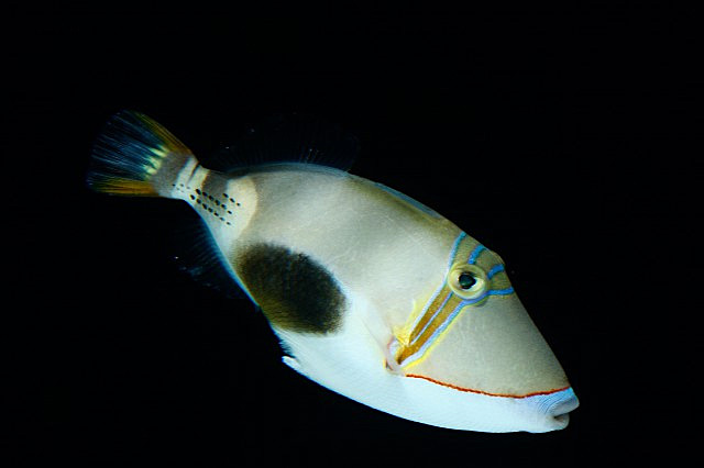 Picasso triggerfish blackbelly