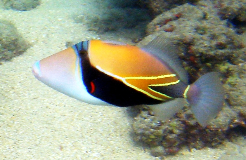 Reef Picasso triggerfish