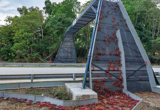 Christmas Islanders have built bridges to help the migrating Christmas Island Red Crab