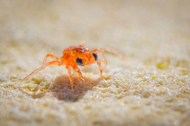Christmas Island Red Crab megalop