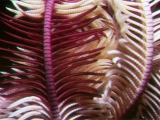 Feather star, Red Sea