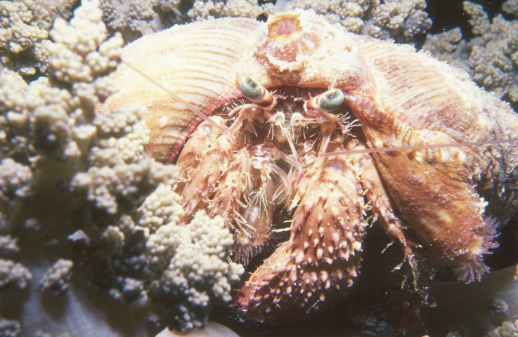 Photograph of Hermit Crab