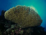 Red Sea table coral (acropora)