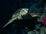 Hawksbill Turtle, Red Sea