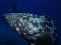 Grouper on Agincourt Reef