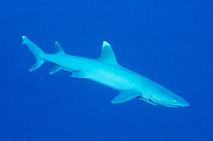 Whitetip Reef Shark, Australia