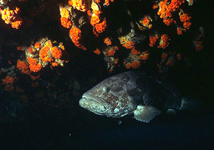 Grouper on Yongala