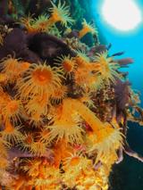 Anemones Ilhaus, Azores by Tim Nicholson