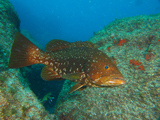 Grouper, Ilhaus, Azores by Tim Nicholson