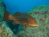 Grouper, Ilhaus, Azores by Tim Nicholson