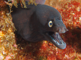 Moray Eel, Ilhaus, Azores by Tim Nicholson