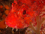 Scorpionfish on Barge wreck, Azores by Tim Nicholson.