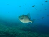 Triggerfish, MonteGuia, Azores by Tim Nicholson