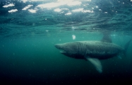 Basking_shark, Isle of Man