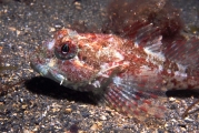 Scorpion_fish, Isle of Man